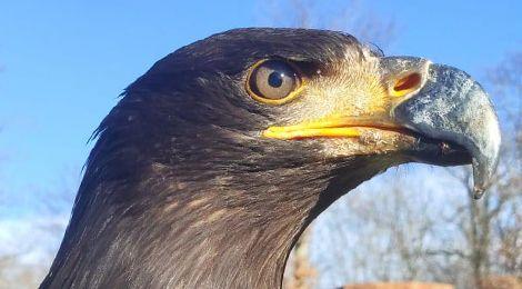 Yukon, our bald eagle