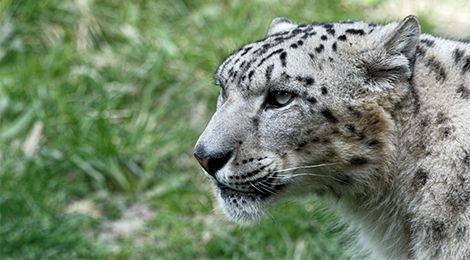 Maleo, our snow leopard