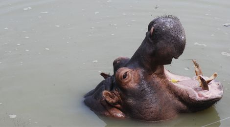 Image, our hippopotamus